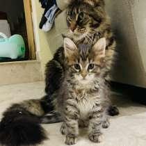 Мейн кун котята, в г.Кефар-Сава