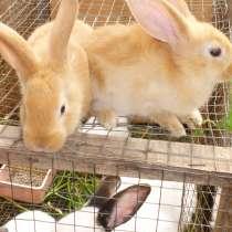 Мясо молодых кроликов, в г.Минск