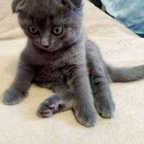 Шотландське вісловухе кошеня, в г.Хмельницкий