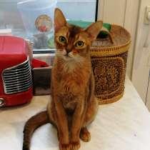 Абиссинская кошечка в дар, в Москве