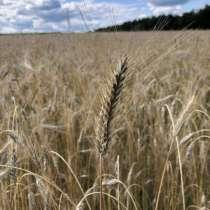 Пшеница, в г.Киев