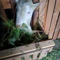 Продам козла, в Белово