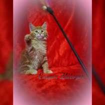 Мейн-кун котята, в г.Брест