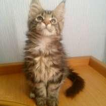 Продаётся шикарный котёнок мейн-кун, в Нижнем Новгороде