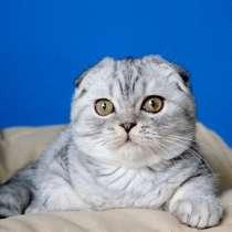 Котята в серебристых шубках, в Москве