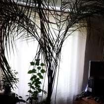 Пальма финиковая, в Москве