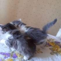 Сибирские котята, в г.Бельцы