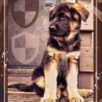 Шикарный щенок немецкой овчарки, в Москве