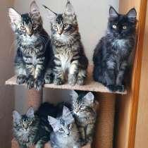 Котята Мейн-кун мальчики и девочки, в г.Пекин