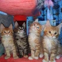 Продажа котят породы Мейн-кун, в Благовещенске