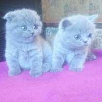 Продам чистокровных шотландских плюшевых котят, в г.Кременчуг