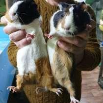 Продаются морские свинки из питомника, в Москве