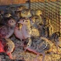 Продам цыплят охотничьего фазана, в г.Костанай