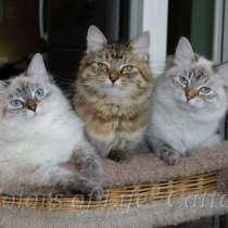 Сибирские котята различных окрасов, в Москве