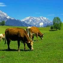 Куплю коров, в г.Орша
