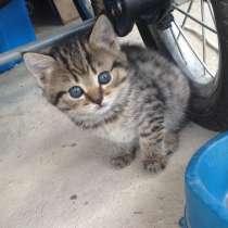 Чистокровные британские котята, в Выксе