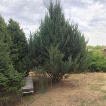 Хвойные многолетние растения, в Ростове-на-Дону