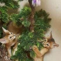 Абиссинские котята, в Домодедове