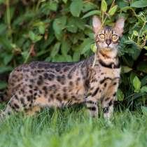 Бенгальские котята!, в г.Бельцы
