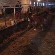 Продам КРС, бычки, телята, коровы, в Красноярске