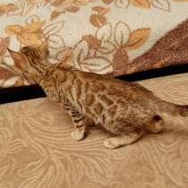 Бенгальская кошка котенок, в г.Минск