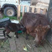 Продам козлят, в Нижнем Новгороде