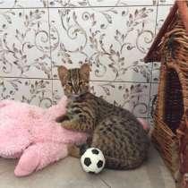 Азиатский котенок Северный подвид бенгалов, в Москве