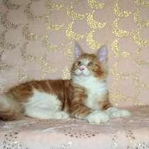 Котенок - кошечка - мейн-кун, в Новосибирске