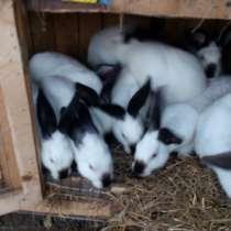 Кролики оптом, в Королёве