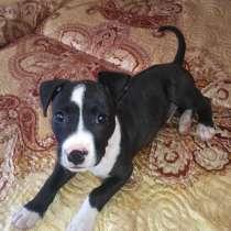 Продам щенка стаффорда мальчик 2 месяца 0680690335ца, в г.Северодонецк