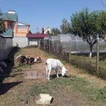 Продам дойных коз, в Нововоронеже