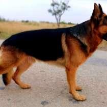 Продам щенков немецкой овчарки, в Джанкое