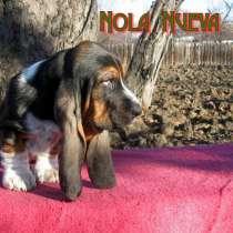 Продаются щенки бассет-хаунда, в г.Днепропетровск