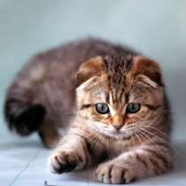 Шотландские котята. Питомник, в г.Минск