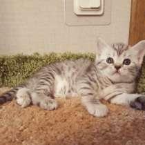 Ирма шотландский изумительный котенок, в Всеволожске