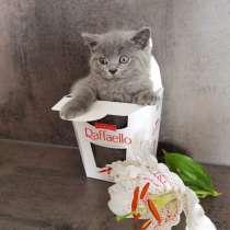 Британские котята, ласковые и игривые, в г.Horstel