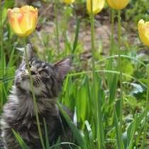 Котята Мейн кун Maine Coon Kittens, в Лыскове