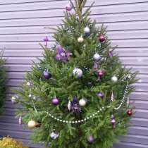 Новогодние живые елочки в контейнере, в Краснодаре
