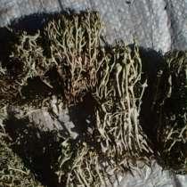 Продам исландский мох, в Новосибирске