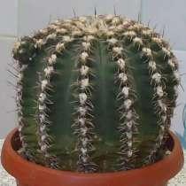 Продаю кактусы, в Самаре