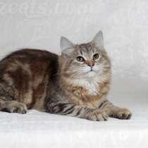 Сибирский котик, в Екатеринбурге