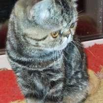 Котенок экзот девочка, в Челябинске