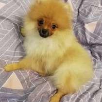Pomeranian, в Москве