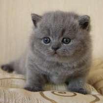 Голубые котята, в Санкт-Петербурге