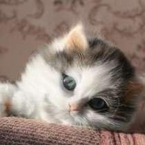 Клубный шотландский котенок хайленд, в Омске