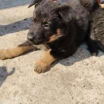 Продаются щенки немецкой овчарки, в г.Тирасполь