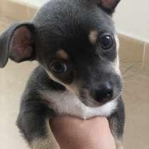 Продам щенка чихуахуа, в г.Льорет-де-Мар