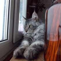 Кот породы Мейн-кун, в Кургане