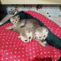 Шотландские плюшевые котята, в г.Гомель