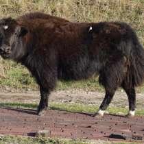 В продаже молодняк тувинского яка (сарлыка) бычки, в Липецке